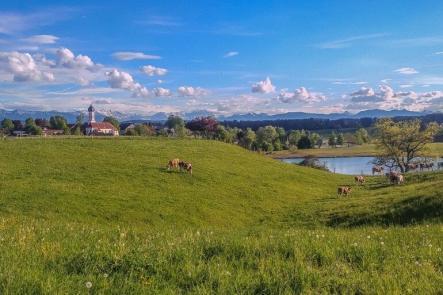 Wiesen, Kühe, Iffeldorf und Alpen im Hintergrund