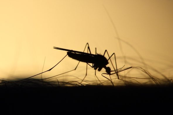 Mücke im Gegenlicht wie sie auf der Haut sitzt und sticht - erfrischendes Antimückenspray schnell selbst gemixt