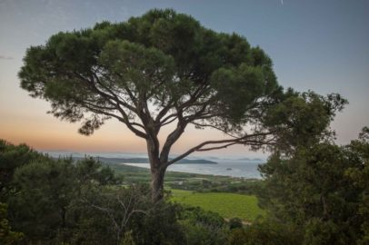 Camping Les Tournels - Blick über die Weinberge auf Ramatuelle mit großer Pinie