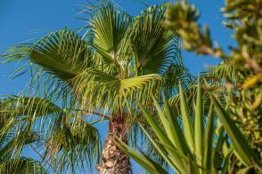 Palmenblätter vor blauem Himmel - Hinterland von Salento