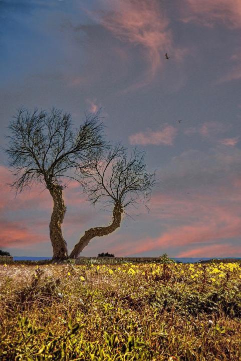 Baum mit blühendem Feld nähe Gallipoli - Hinterland von Salento